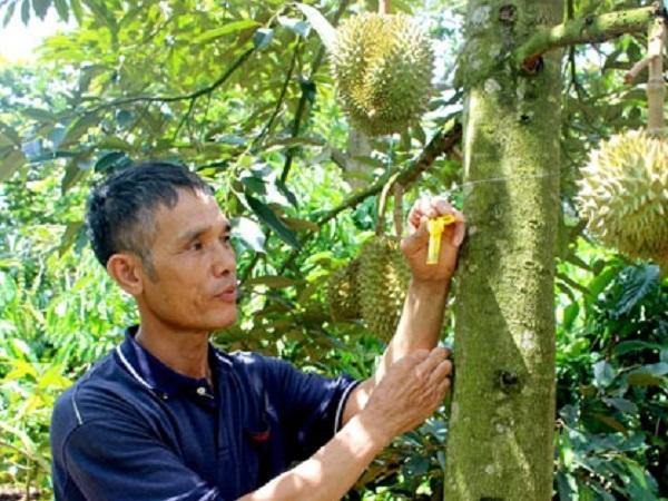 Gắn chíp điện tử trên cây để truy xuất nguồn gốc sầu riêng