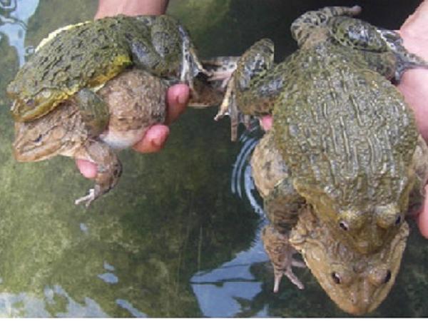 NT-Kỹ thuật nuôi ếch Thái Lan lãi cực khủng lại tiết kiệm chi phí