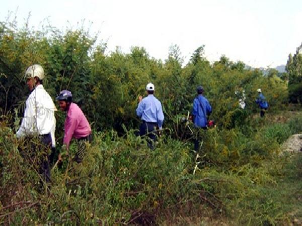 Kon Tum cấp bách ngăn chặn và diệt trừ cây mai dương