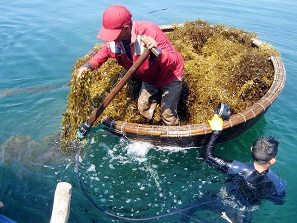 CB-Phòng trị bệnh đốm trắng nội tạng trên cá lóc từ rong mơ