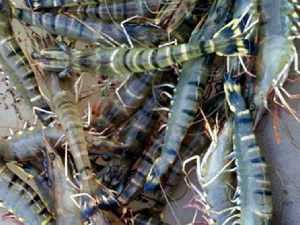 NT-Lưu ý nuôi tôm nước lợ mùa nắng nóng