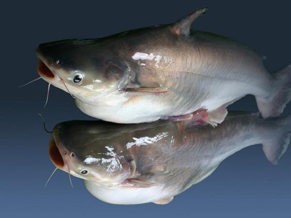 CB-Phòng, trị bệnh giun sán cho cá tra giống