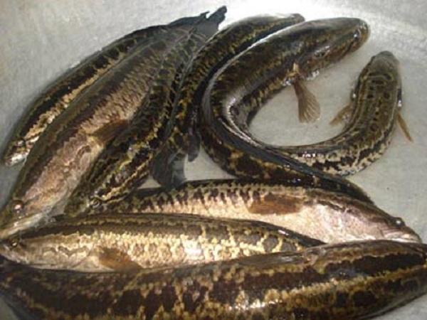 CB-Phòng và trị dứt điểm một số bệnh thường gặp trên cá chuối hoa