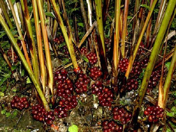 CS-Kỹ thuật trồng thảo quả