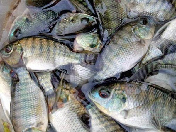 CB-Phòng và trị một số bệnh trên cá rô phi nuôi theo tiêu chuẩn VietGAP