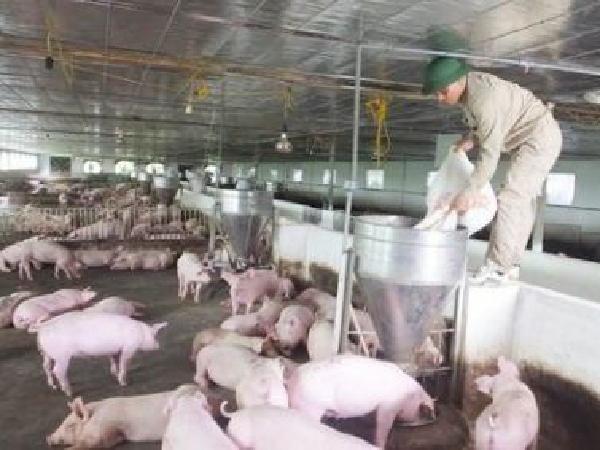 Quy trình chăn nuôi lợn an toàn sinh học 'cùng vào cùng ra'