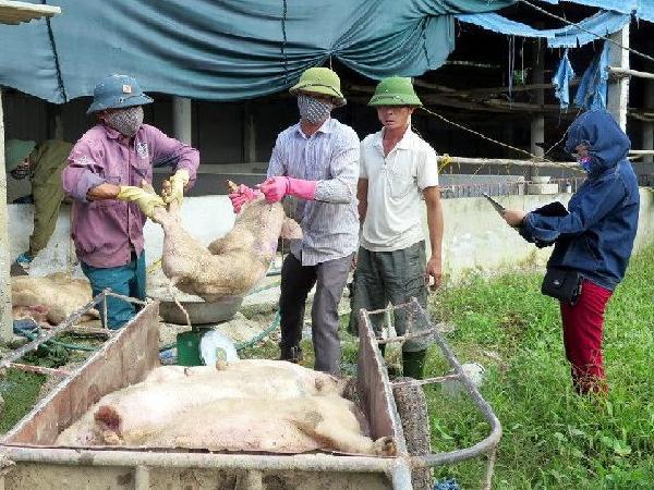 Cảnh báo bùng phát dịch bệnh tai xanh trên lợn sau mưa lũ
