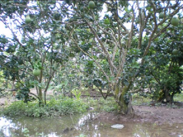 CS-Cần làm gì để bảo vệ vườn cây ăn quả trong mùa mưa bão?
