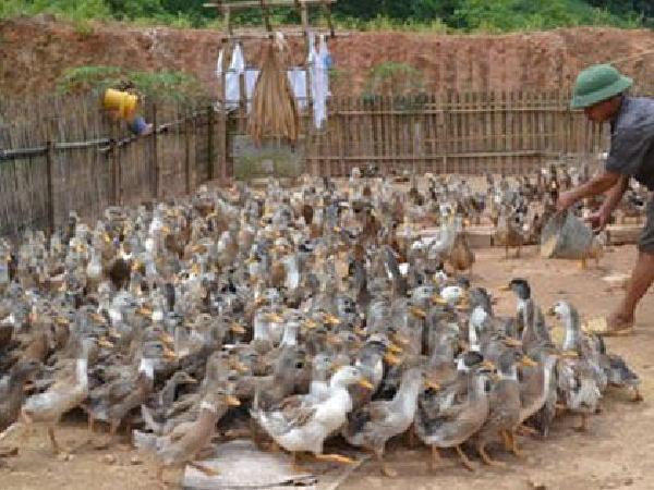 Kinh nghiệm nuôi vịt bằng chanh của nông dân Trung Quốc