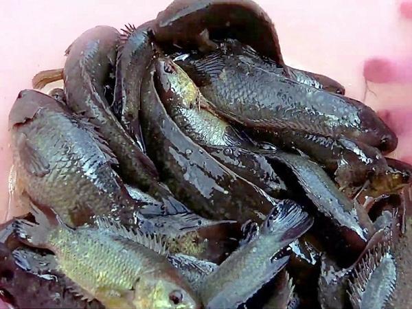 NT-Chế độ dinh dưỡng thích hợp cho cá rô đồng
