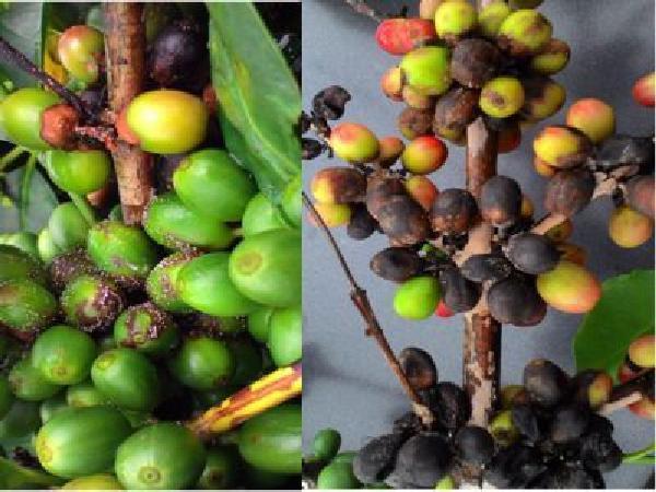 Đề phòng bệnh khô cành, khô quả trên cây cà phê vào mùa mưa