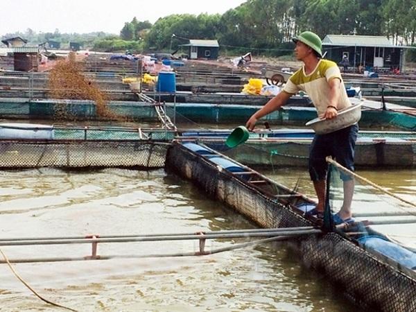 NT-Giảm lượng thức ăn cho cá lồng mùa mưa bão
