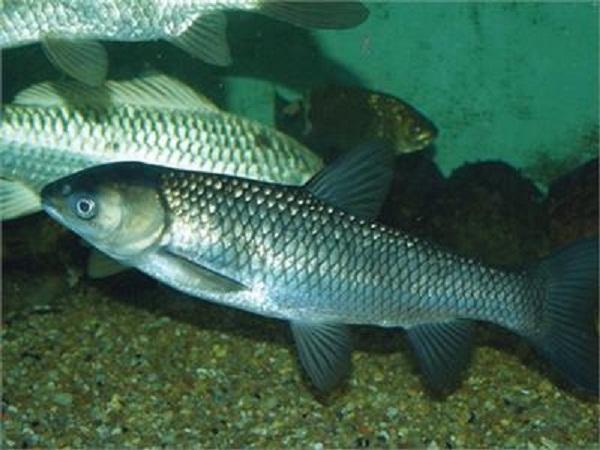 NT-Kỹ thuật sản xuất giống cá trắm cỏ