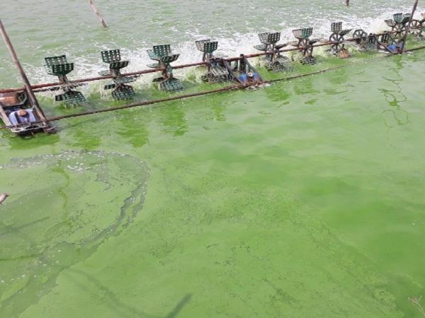 NT-Kiểm soát độc tố tảo ao nuôi
