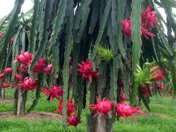 Trồng thanh long ruột đỏ thu trái quanh năm, bán hết sạch tại vườn