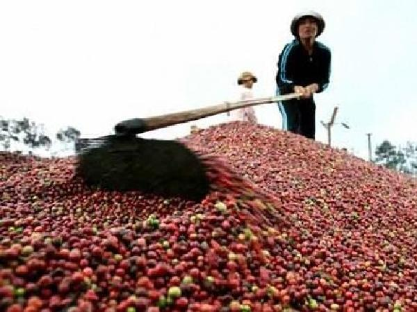 Giá cà phê Tây Nguyên ngày 14/08/2019 bất ngờ tăng mạnh trở lại