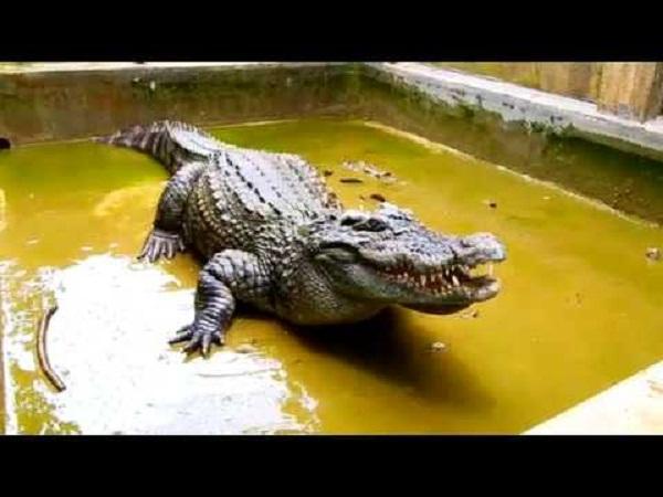 NT-Nuôi cá sấu ở hộ gia đình