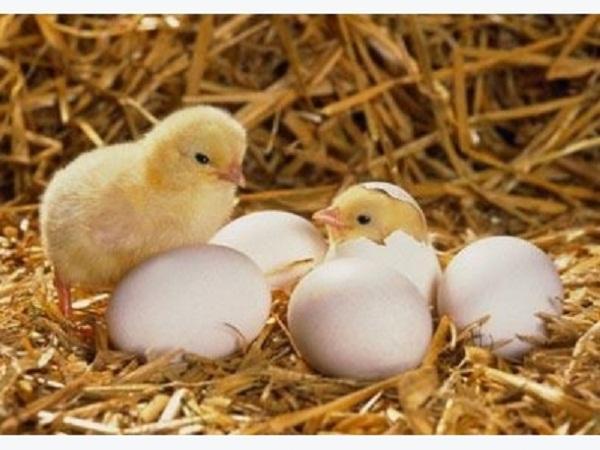 N-Hướng dẫn kỹ thuật ươm gà và quy trình phòng bệnh cho gà