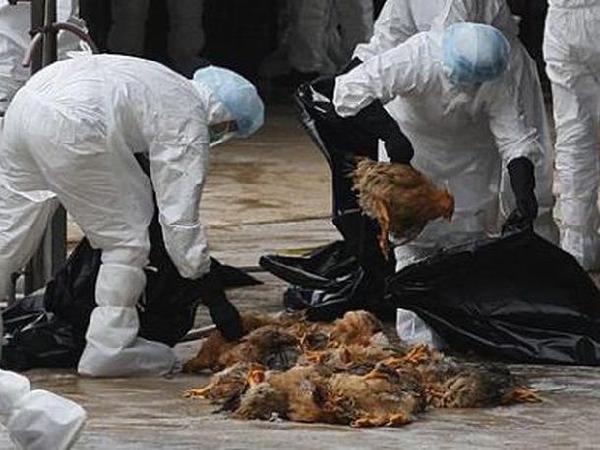 Phát hiện ổ dịch cúm gia cầm A/H5N1 trên đàn gà 1.500 con