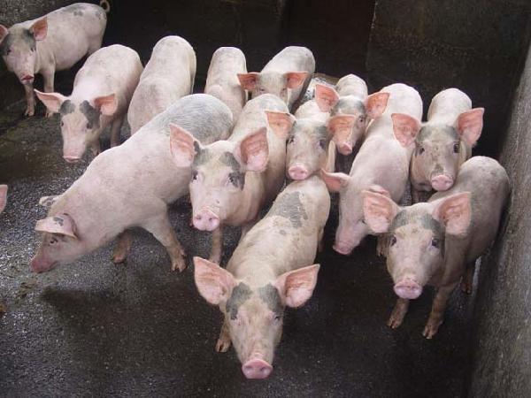 Chuyện lạ: Lợn mắc dịch tả lợn châu Phi hơn 14 ngày vẫn chưa chết?