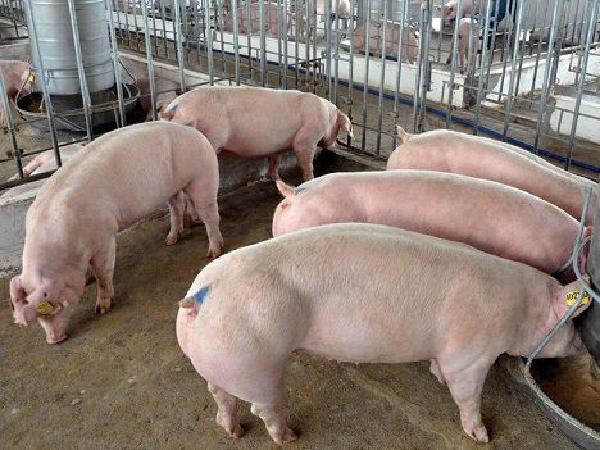 Chế phẩm MINTU từ huyết thanh thỏ có khả năng phòng tả lợn châu Phi?