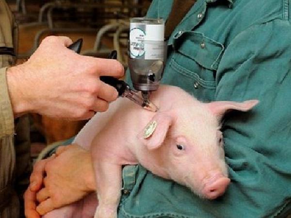 Chi tiết quy trình tiêm vắc xin phòng bệnh cho lợn con