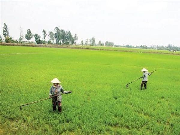 CS-Triệu chứng và tác hại của việc bón thừa phân đạm cho lúa Hè Thu