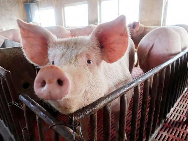 N-Khuyến cáo sử dụng chế phẩm vi sinh trong thức ăn cho lợn