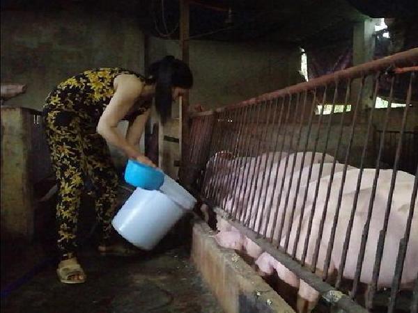 Hy hữu: đàn lợn ăn hèm (bã) rượu khỏi bệnh tả lợn châu Phi