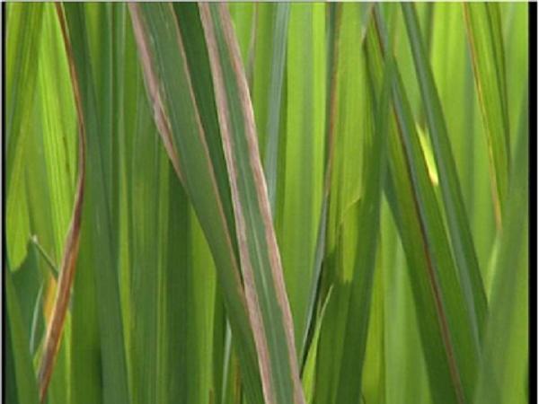 Cảnh báo: Bệnh bạc lá lúa gây hại mạnh trong thời điểm mưa rào và dông