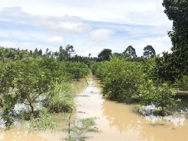 CS-Bảo vệ vườn cây ăn trái mùa mưa lũ