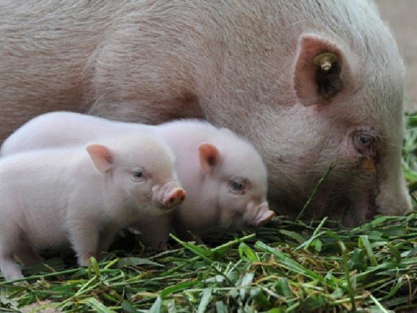 N-Cách phối trộn thức ăn cho lợn con