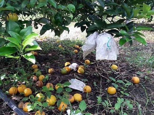 Căn bệnh chưa có thuốc trị trên cam khiến người trồng mất trắng