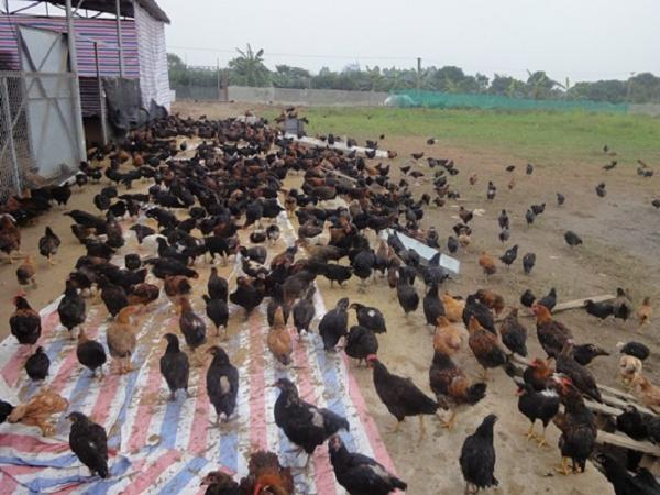 Kiệt quệ vì dịch, khát vốn tái đàn gia súc, gia cầm