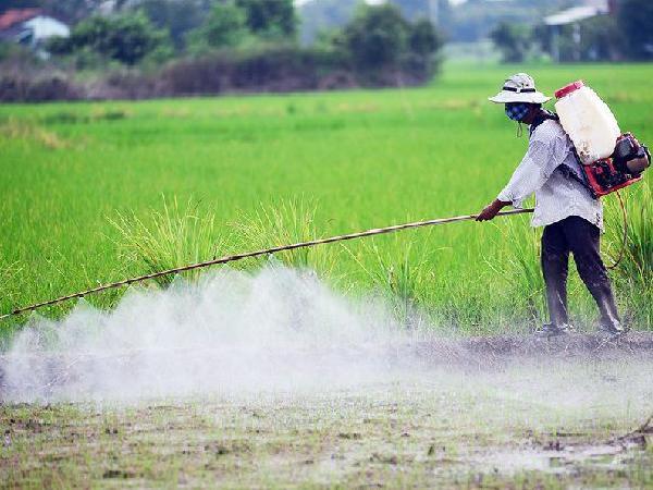 """Chuyên gia bó tay trước anh nông dân cho lúa """"bội thực"""" phân bón và thuốc trừ sâu"""
