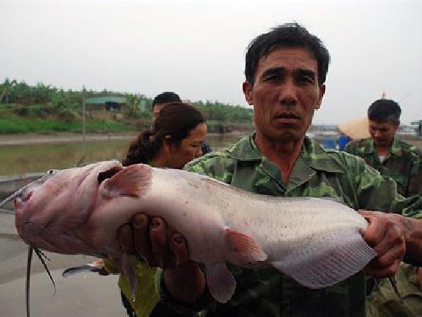 """Cá nheo Mỹ - loài thủy sản đang được thị trường """"săn đón"""""""
