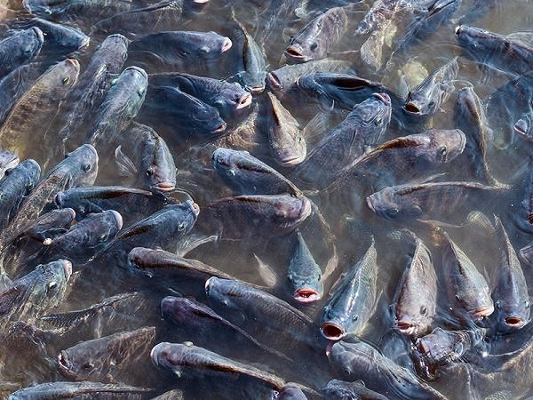 NT-Chiến lược cho ăn hiệu quả trong nuôi cá rô phi