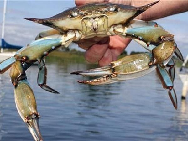 NT-Kỹ thuật nuôi cua biển bằng lồng bè