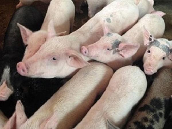 Sẽ chỉ được nuôi tối đa 1.020 con lợn trên mỗi kilômét vuông?