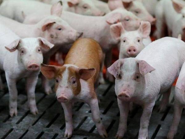 """Dịch tả lợn Châu Phi đang có dấu hiệu """"hạ nhiệt"""", có nên tái đàn?"""