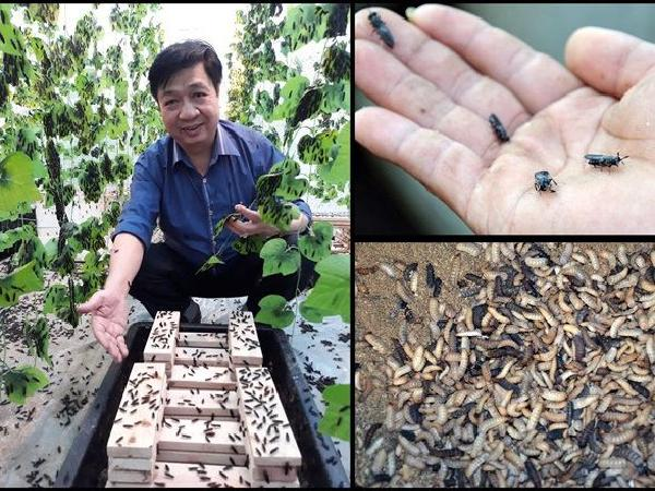 Những lợi ích không tưởng từ nuôi ruồi lính đen