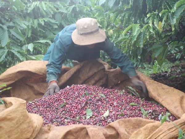 Giá cà phê lao dốc không phanh