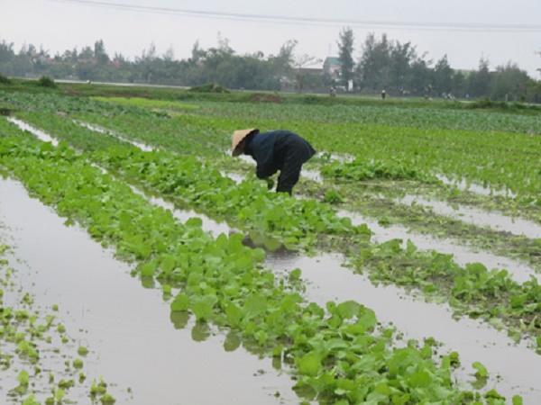 CS-Những điều cần lưu ý để cây nhãn và rau màu vẫn phát triển tốt sau mưa lớn