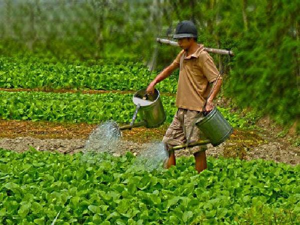CS-Tưới nước, bón phân không đúng cách có thể gây phản tác dụng