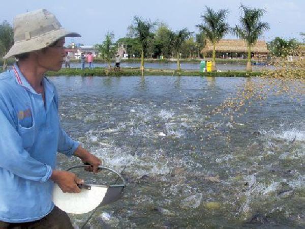Bài học xương máu của nông hộ khi nhập cá giống