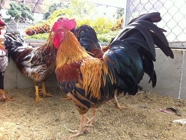 N-Kỹ thuật nuôi gà chín cựa đặc sản, thu lợi nhuận cao