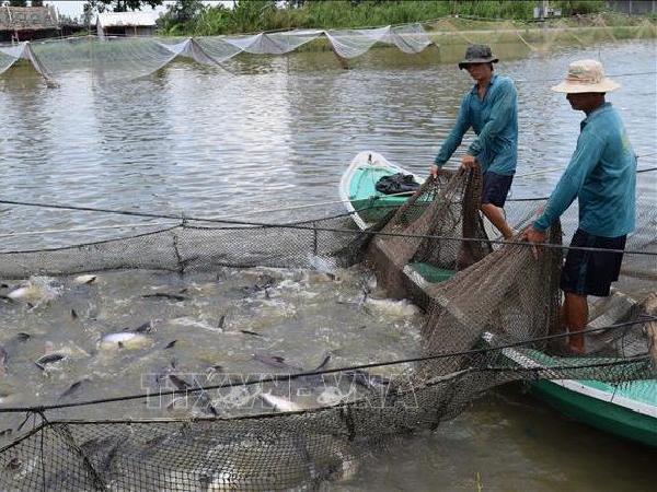 Cá Tra càng bán càng lỗ, đâu là lối đi đúng?