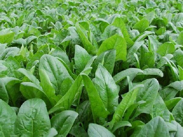 CS-Một số loại rau có thể trồng tại nhà trong vụ thu đông