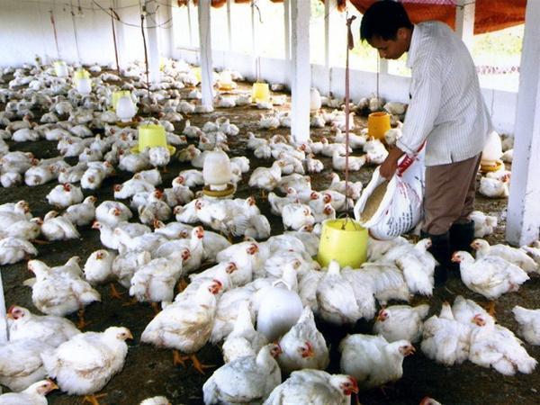 Giá gà thấp kỷ lục trong 10 năm qua - 10.000/kg, thua cả giá rau