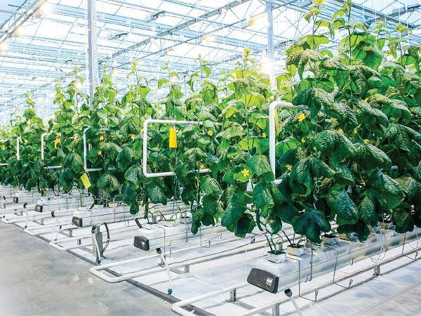 Nông nghiệp công nghệ cao hút vốn đầu tư doanh nghiệp Nhật Bản